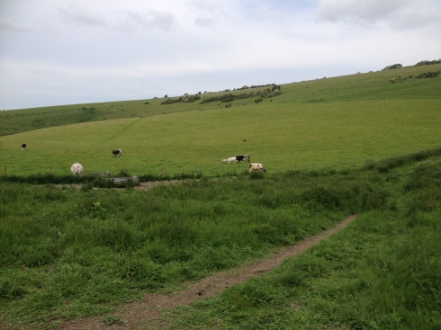 Cows - from a safe distance!